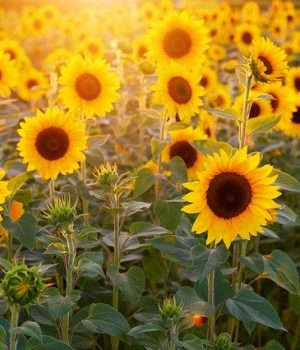 sunflower-3550693_640